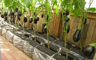 Баклажаны в теплице: почему гниют, не растут, погибают, фото, видео – выращиваем в теплице
