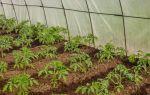Пересадка помидор в теплицу: пересаживать рассаду, томатов, видео – выращиваем в теплице