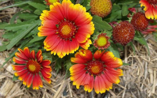 Гайлардия (56 фото): остистая, многолетняя, аризон сан, гибридная, бургунди, посадка и уход, выращивание из семян, видео – выращиваем в теплице