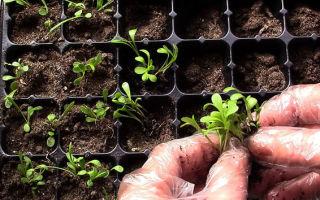 Цветок гацания (56 фото): выращивание из семян, когда сажать в открытый грунт, посадка, уход за однолетней, многолетней – выращиваем в теплице