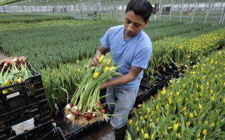 Тюльпаны в теплице к 8 марта: как выращивать, выгонка, технология, фото, видео – выращиваем в теплице