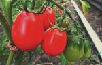 Томат московский деликатес:описание, фото, отзывы тех, кто сажал, сливочный, засолочный сорт, видео – выращиваем в теплице