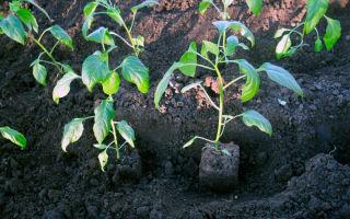 Томат батяня (50 фото): описание сорта, кто сажал помидоры, отзывы, видео – выращиваем в теплице