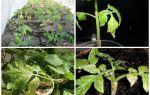 Белые листья на томатах: светло зеленые у рассады помидор, почему темнеют, черные и красные, описание, видео – выращиваем в теплице
