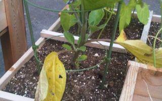 Почему желтеют листья и плоды баклажан в теплице: причины, что делать, фото, видео – выращиваем в теплице