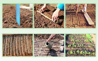 Посадка моркови весной в открытый грунт – сроки, инструкции и видео – выращиваем в теплице