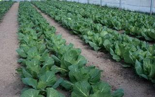 Выращивание ранней капусты: сорта, посадка рассады, выращивание, фото, видео – выращиваем в теплице