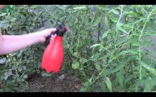 Чем обработать помидоры от фитофторы народными средствами: методы, рецепты обработки, лечение, профилактика, фото, видео – выращиваем в теплице