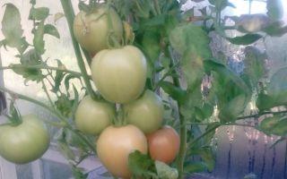 Яблок-помидор: фото сорта, отзывы о яблочном томате, описание сибирского гибрида, – выращиваем в теплице
