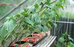 Сбор урожая огурцов в теплице: как и когда обрывать, фото, видео – выращиваем в теплице