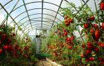 Томаты для теплицы из поликарбонат: лучшие сорта, отзывы, фото, видео – выращиваем в теплице