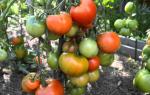Томат дубрава: характеристика и описание сорта, отзывы тех, кто сажал, фото, урожайность помидоров, видео – выращиваем в теплице