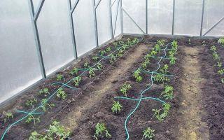 Полив – выращиваем в теплице