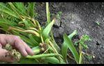 Семена гиацинта: как выглядят (фото), размножение и выращивание из них, видео – выращиваем в теплице