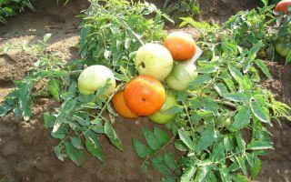 Томаты низкорослые для открытого грунта (50 фото): помидоры без пасынкования, низкорослый розовый, отзывы – выращиваем в теплице
