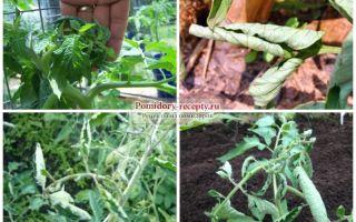Почему скручиваются листья у помидор в теплице: причины, что делать, фото, видео – выращиваем в теплице