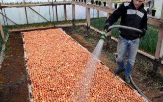 Помидоры в теплице: выращивание, уход за томатами, технология, фото, видео – выращиваем в теплице