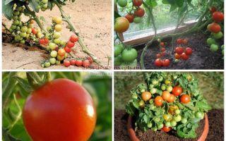 Помидоры черри: как вырастить, закрыть на зиму, фото, выращивание в открытом грунте, полезные свойства, состав, описание, видео – выращиваем в теплице