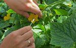 Семена огурцов для теплицы: самоопыляемые, пчелоопыляемые, как опылять самостоятельно, фото, видео – выращиваем в теплице