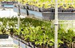 Томат белый налив: характеристика и описание сорта, фото, выращивание, отзывы, видео – выращиваем в теплице