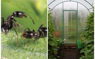 Как избавиться от муравьев в теплице: причины появления, как вывести, народные средства, фото, видео – выращиваем в теплице