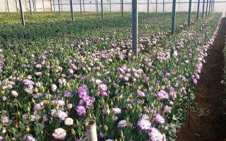 Эустома многолетняя: как выращивать из семян, посадка, уход, размножение, фото, видео – выращиваем в теплице