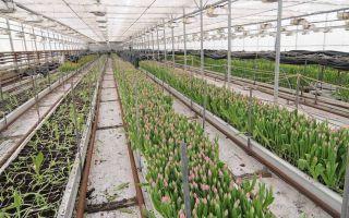 Выращивание тюльпанов в теплице: технология, уход, агротехника, фото, видео – выращиваем в теплице