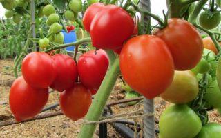 Томат буденовка: описание сорта, фото, отзывы, урожайность, характеристика, видео – выращиваем в теплице