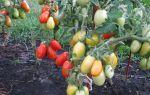 Помидоры челнок (50 фото): выращивание и урожайность томатов, описание сорта, отзывы – выращиваем в теплице