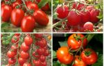 Лучшие сорта помидор для северо-запада: какие хорошие томаты, описание, отзывы, видео – выращиваем в теплице
