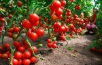 Помидоры в открытом грунте: выращивание, уход, самые лучшие и урожайные сорта, фото, видео – выращиваем в теплице