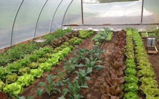Альбион клубника: отзывы, описание, фото, земляники, видео – выращиваем в теплице