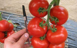 Томат махитос f1 (55 фото): помидоры, описание и отзывы, какое выращивание, видео – выращиваем в теплице