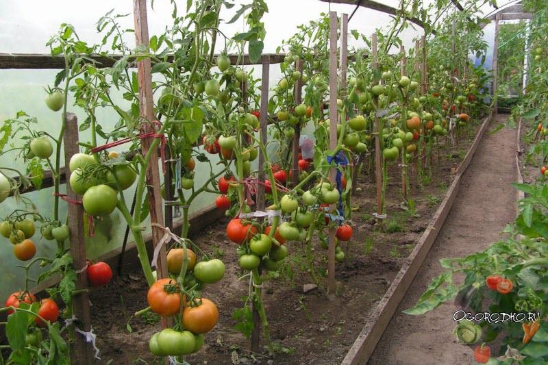 высота помидор в теплице