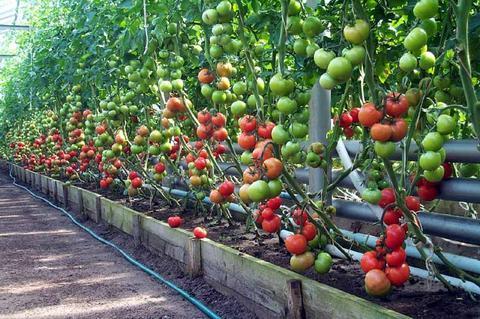 чем обрабатывать теплицы помидоры