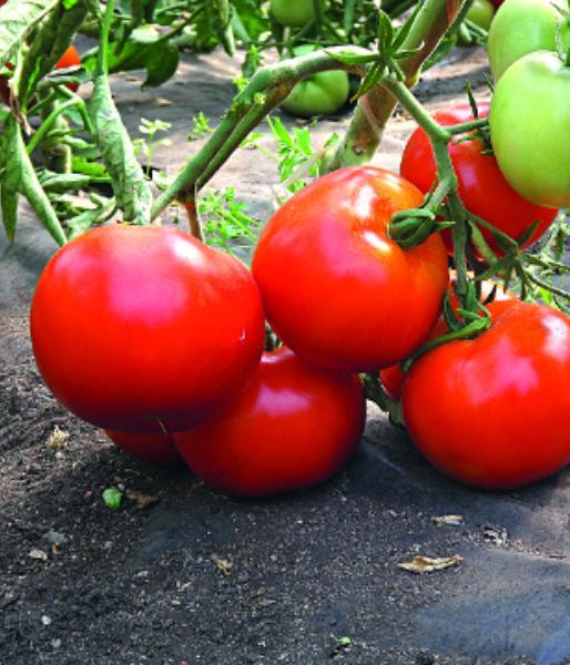томаты в большой теплице