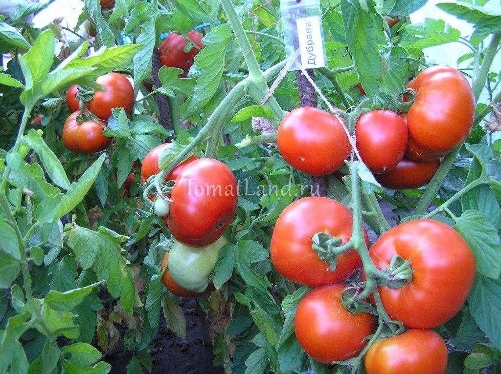 помидоры янтарь описание сорта фото отзывы