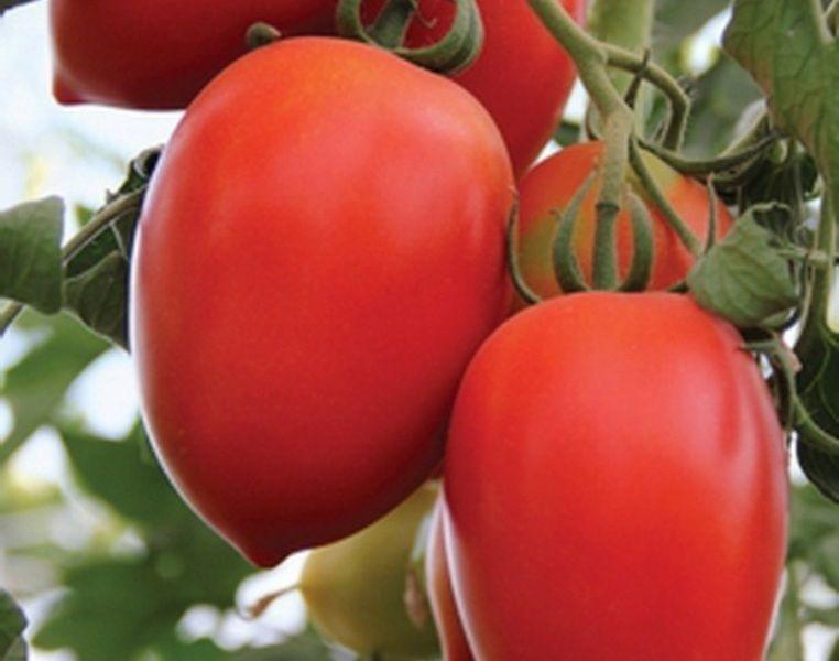 томат Земляк | Семена, Овощи, Помидоры | 600x762