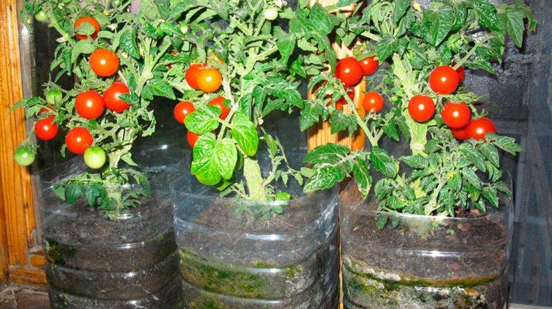 помидоры черри посадка и уход в теплице