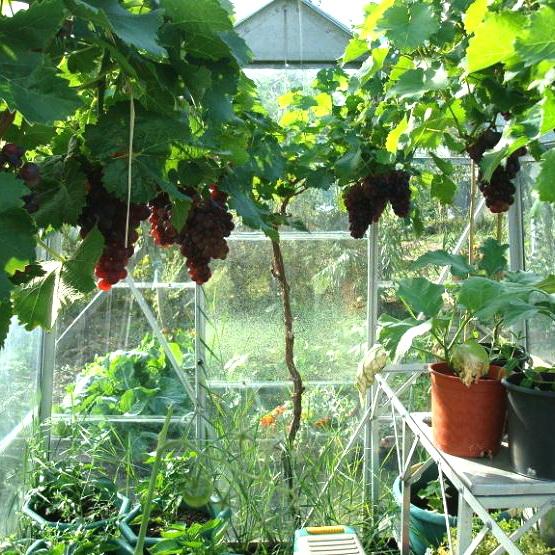 укрываем виноград в теплице