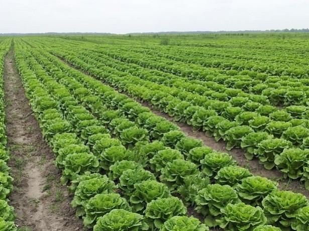 выращивание листьев салата в теплице