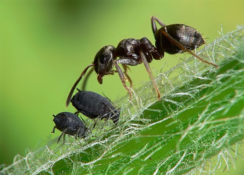 народные средства от муравьев в теплице