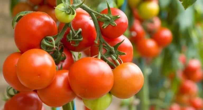 хороший сорт помидор для теплицы отзывы