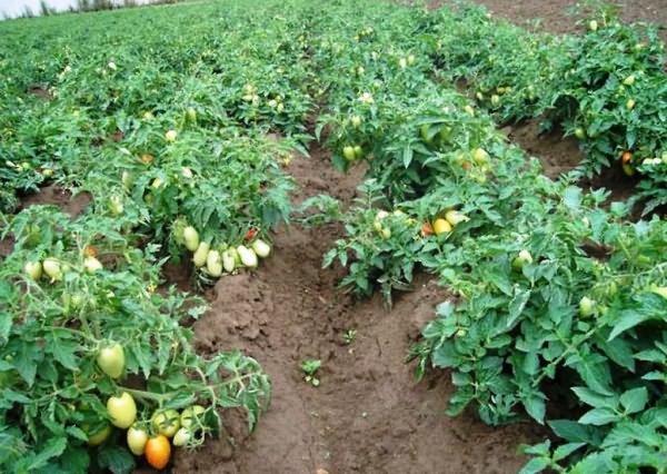 какой должна быть теплица для помидор