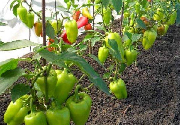 как выращивать клубнику в теплице из поликарбоната