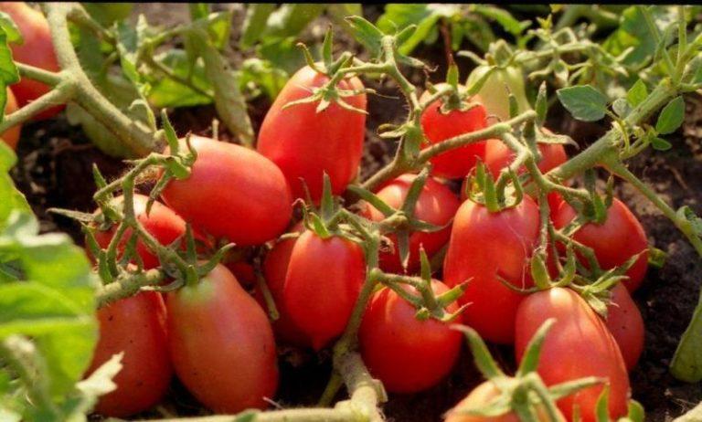 сорт помидор рио гранде