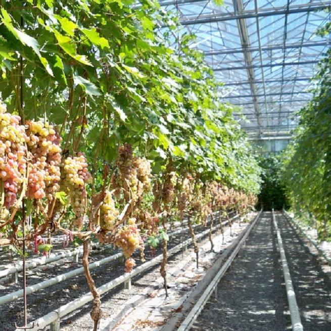 что выращивать в теплице летом