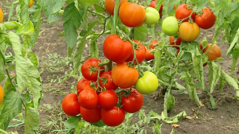 купить семена помидоров для теплиц