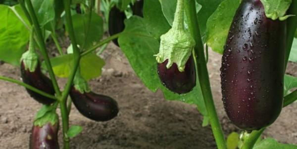 урожайные сорта баклажанов для теплицы в сибири